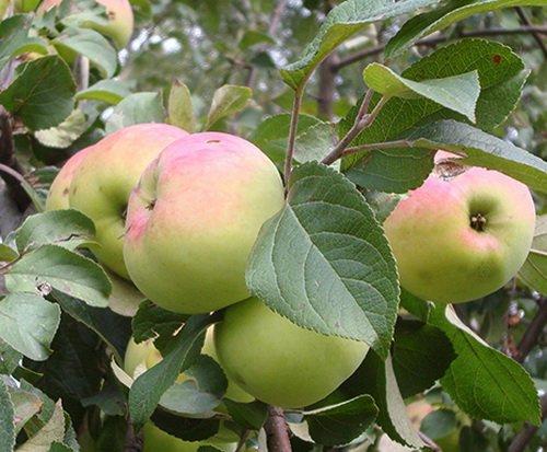 Зимостойкая и неприхотливая яблоня имрус