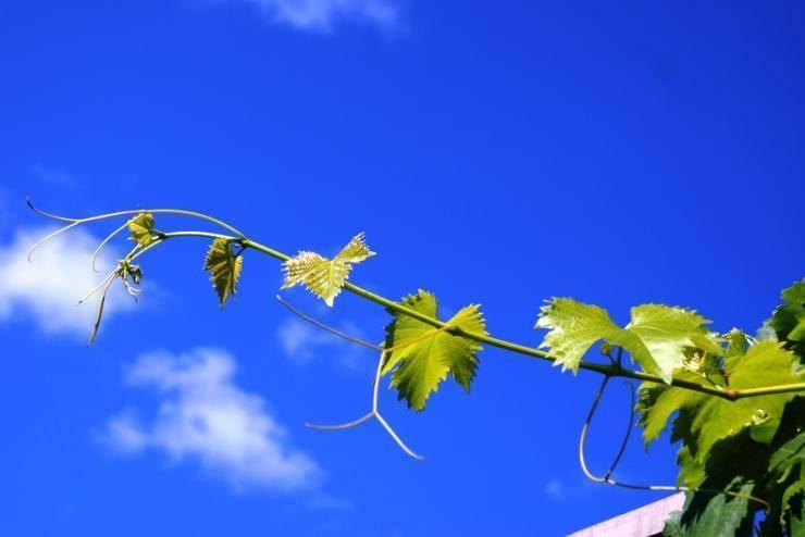 Нужно ли на винограде обрывать усы?  - ответ по животные и растения