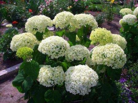Как посадить древовидную гортензию в открытый грунт: как ухаживать