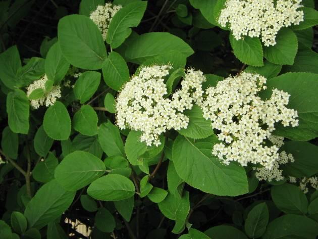 Кустарник калина: посадка и уход, фото, выращивание в саду, обрезка и размножение