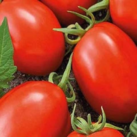 """Сорт помидор """"безрассадный"""": описание томатов, особенности ухода за почвой, полив, рассада, урожайность, характеристика плодов и подверженность вредителям"""