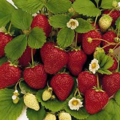 Сбор ягод: ягодный календарь и полезные свойства ягод