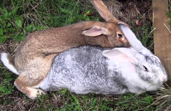 После окрола когда можно покрывать крольчиху