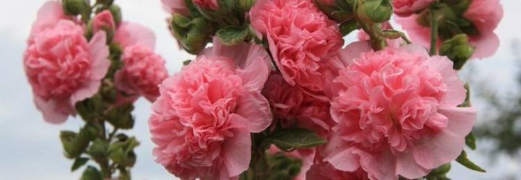 Посадка роз весной: правила успешного укоренения в саду