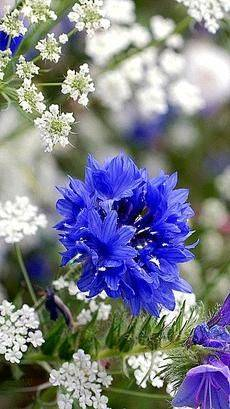 Цветы василька лечебные свойства и противопоказания. применение синего василька: лечебные и полезные свойства растения, рецепты народной медицины