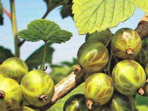 Сорта зеленой смородины: описание, фото плодов и листьев, тибет, уральская красавица, белорусская, нара, розетта