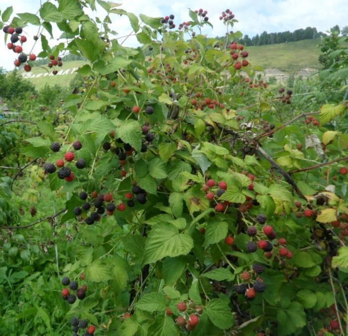 Кумберленд черный польза и вред. черная малина кумберленд