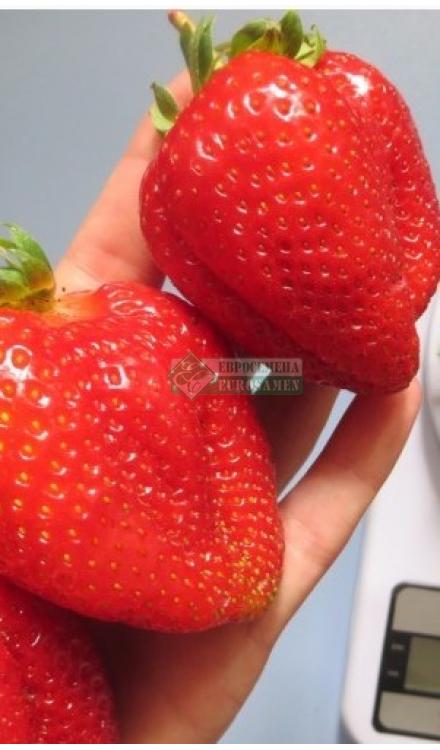 Клубника сорт сан андреас: крупные красивые плоды и хорошая урожайность
