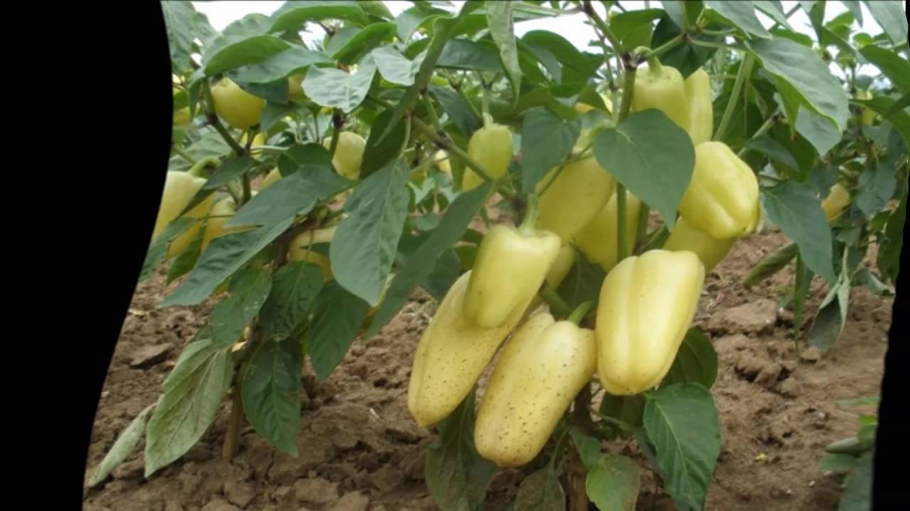 Перец: выращивание и уход в открытом грунте - подробная инструкция!