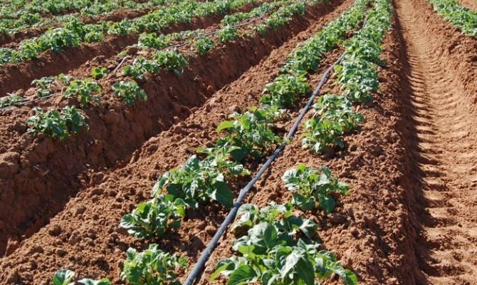 Когда, сколько и как правильно поливать картофель: советы и правила