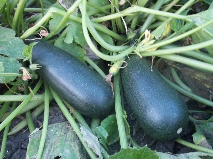 Как вырастить кабачки в открытом грунте?