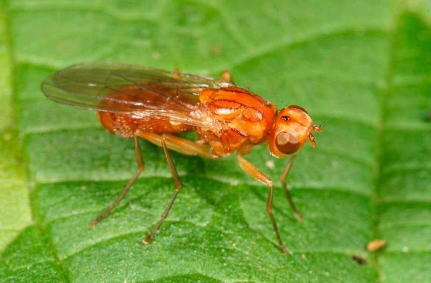 Средства от морковной мухи на огороде