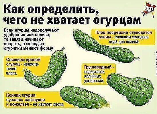 Нехватка элементов питания у огурцов: определить на вид по форме плода и листьям