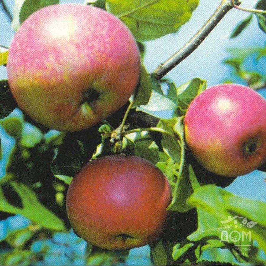 Свердловские сорта яблони