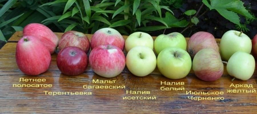Характеристики яблони сорта «осеннее полосатое:» описание, фото, отзывы
