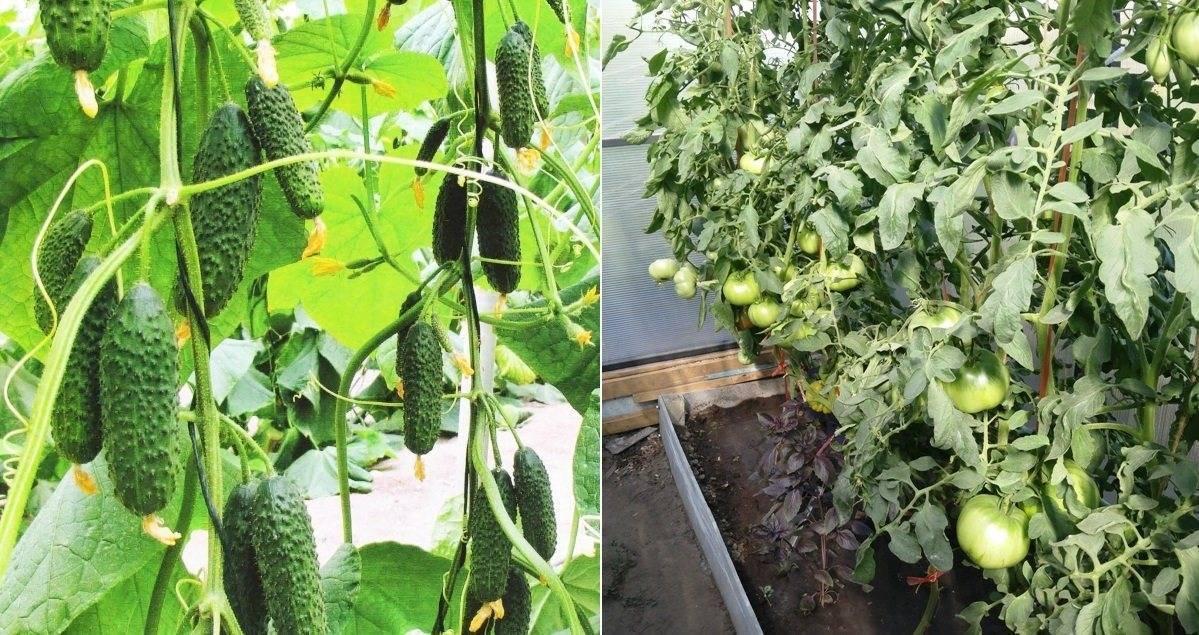 Можно ли сажать баклажаны в одной теплице с огурцами: выращивание и уход