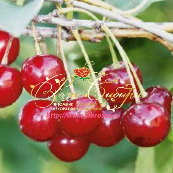 Особенности вишни молодёжная