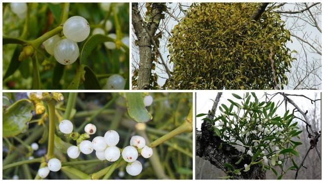 Омела белая: лечебные свойства и противопоказания для похудения, при диабете. рецепт настойки, заварка травы