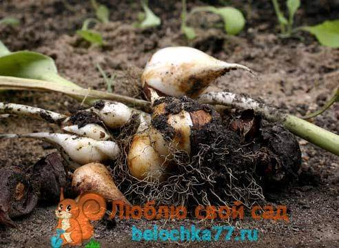 Тюльпаны: уход после цветения. когда выкапывать луковицы тюльпанов?