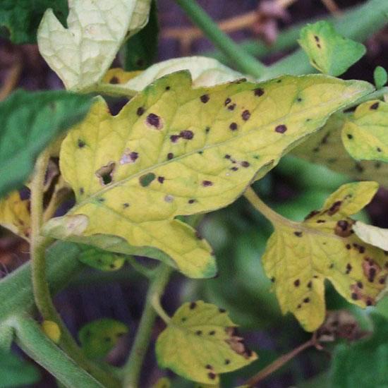 Спасаем урожай: профилактика и лечение фузариозного увядания томатов