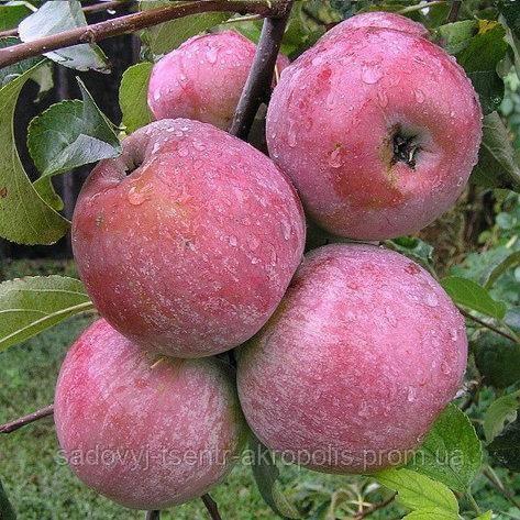 Яблоня фуджи: привет из таинственной японии