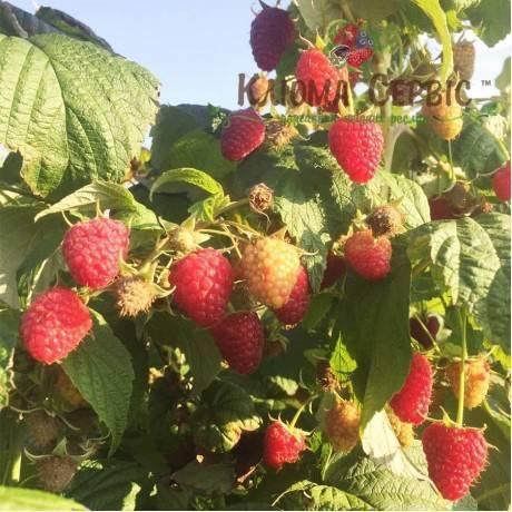 Описание сорта малины херитейдж, выращивание и уход