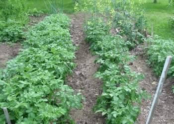 Удобрения для картофеля: какие выбрать и почему