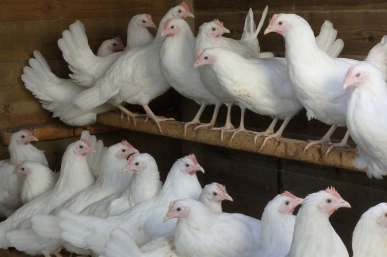 Кто душит кур: названия животных, особенности их охоты, причины и способы борьбы