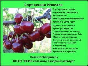 Вишня игрушка — урожайный и крупноплодный дюкукраинской селекции