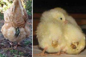 Залипание клоаки у цыплят (что делать, если у бройлера вылезла кишка)