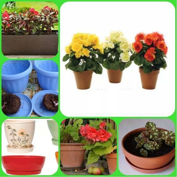 Как поливать бегонию? полив бегонии в горшке зимой и в другое время года в домашних условиях. как правильно перевести цветок на капельный полив?