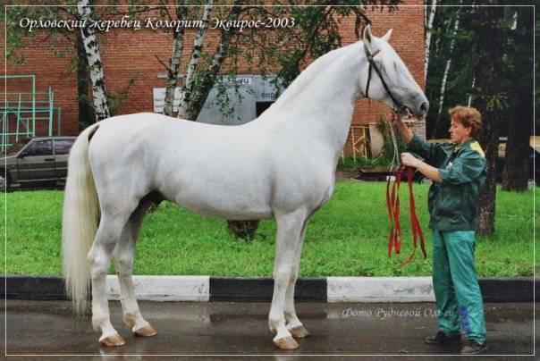 Орловская порода лошадей (33 фото): характеристика молодых коней-рысаков, орлово-ростопчинские рысистые лошади, уход за жеребенком