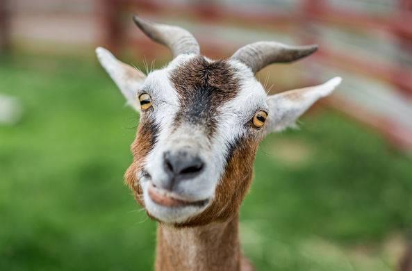 Разведение коз в домашних условиях: советы для начинающих |  ветеринарная служба владимирской области