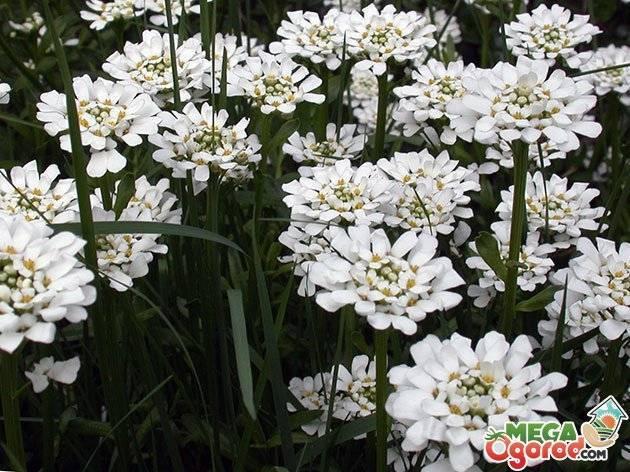 Иберис многолетний (34 фото): посадка и уход, нюансы выращивания в открытом грунте, описание сорта «сноуфлейк» с белыми цветами и других