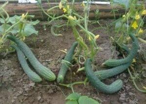Китайский огурец — правила выращивания и советы огородников