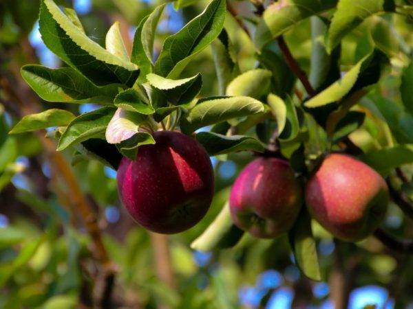 Выращивание и уход за яблоней сорта китайка