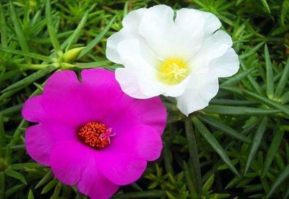 Посадка портулака на рассаду. когда сеять портулак на рассаду? | красивый дом и сад
