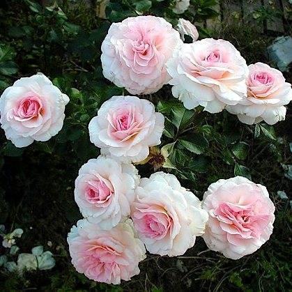 О сортах розы Кордес: описание и характеристики, выращивание в Подмосковье