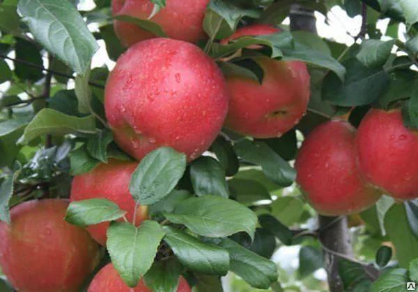 Описание и характеристики сорта яблони хани крисп, особенности выращивания и происхождение