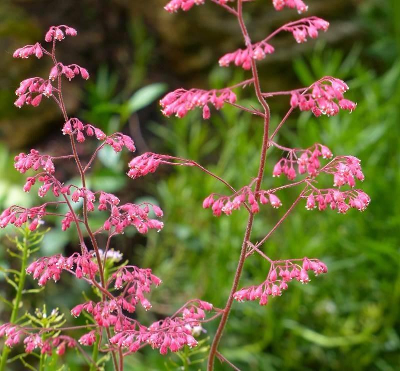 Цветы гейхера