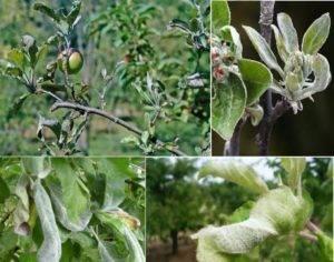 Как бороться с мучнистой росой на яблоне