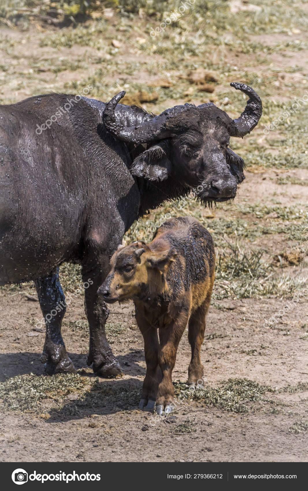 Африканский буйвол: вес, особенности, где живут и обитают