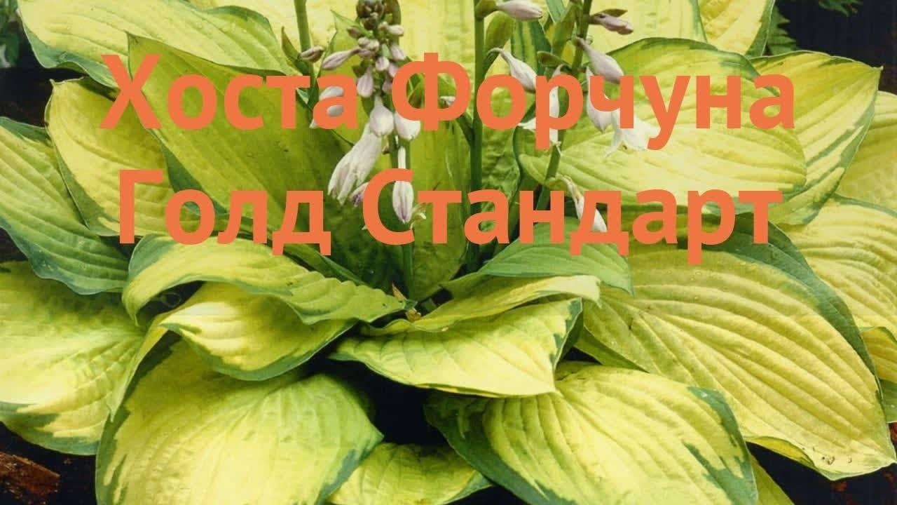 О хосте халцион (halcyon): описание и выращивание хосты поздней халцедон