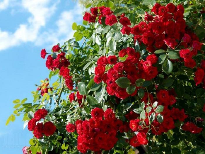 Можно ли пересаживать розы с цветами