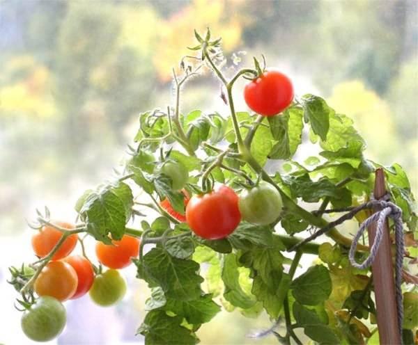 Как ускорить рост рассады помидор – 5 проверенных средств