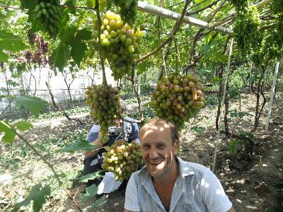 Виноград: полив и подкормка, удобрение. виноград: полив летом. как часто поливать виноград?
