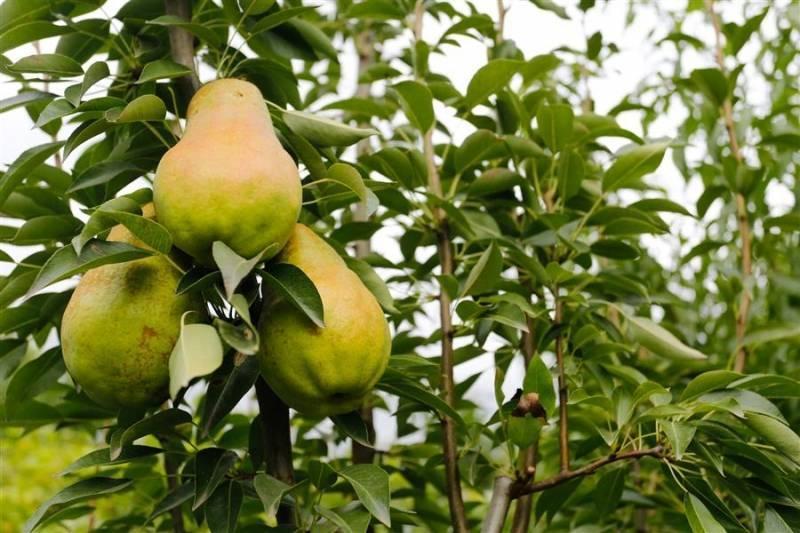 Груша лесная красавица: описание сорта и правила выращивания