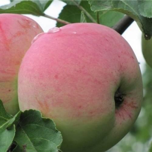 Высокорослая яблоня орловское зимнее