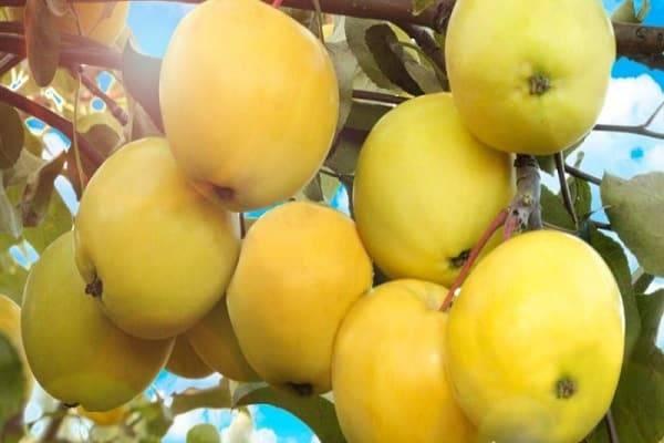 О яблоне Янтарь: описание сорта, характеристики, агротехника, выращивание