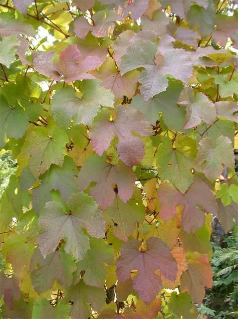 Амурский виноград (уссурийский)